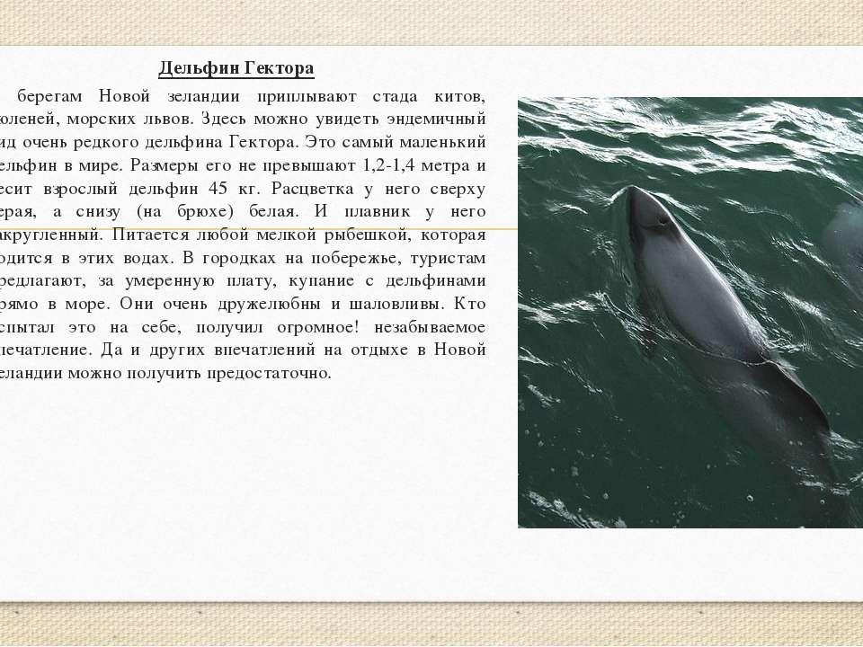 Дельфин Гектора К берегам Новой зеландии приплывают стада китов, тюленей, мор...