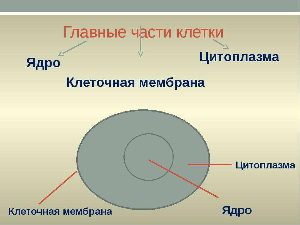 Главные части клетки Ядро Цитоплазма Клеточная мембрана Клеточная мембрана Ци...