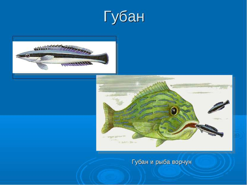 Губан Губан и рыба ворчун
