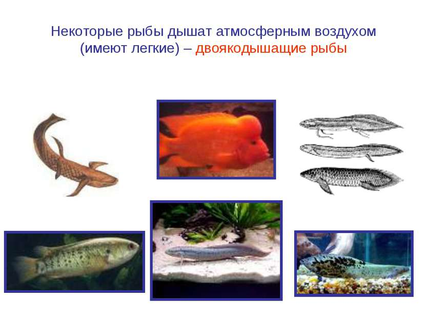Некоторые рыбы дышат атмосферным воздухом (имеют легкие) – двоякодышащие рыбы