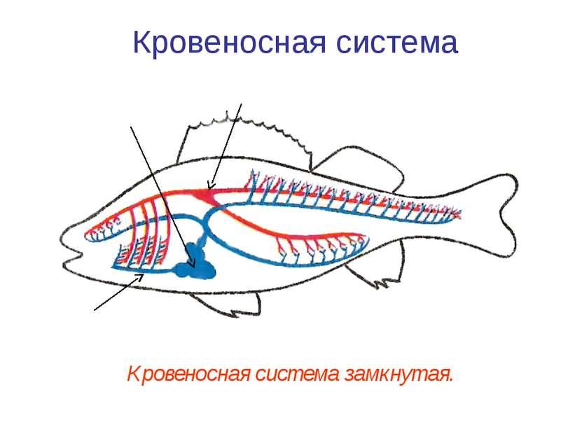 Кровеносная система Кровеносная система замкнутая. Сердце Спинная аорта Брюшн...