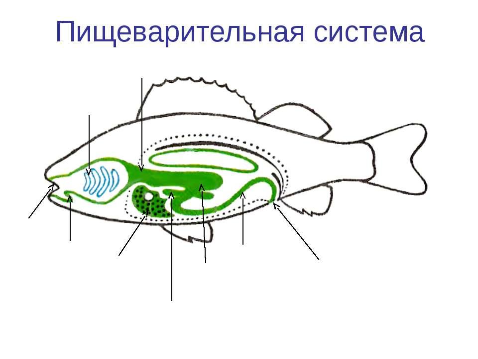 Пищеварительная система Рот Язык Глотка Пищевод Желудок Печень Кишечник Аналь...