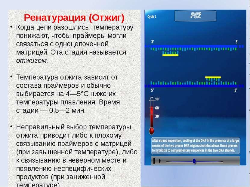 Ренатурация (Отжиг) Когда цепи разошлись, температуру понижают, чтобы праймер...