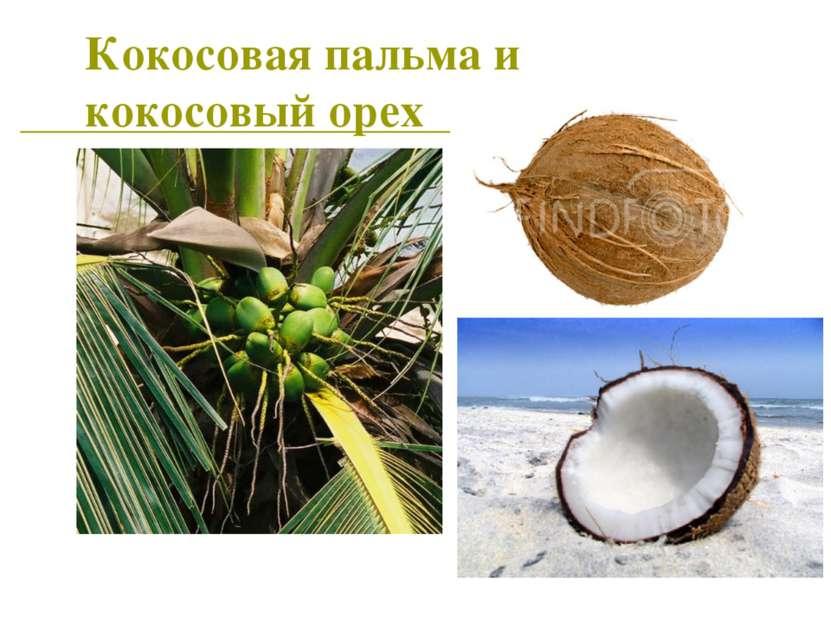 Кокосовая пальма и кокосовый орех