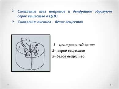 Скопление тел нейронов и дендритов образуют серое вещество в ЦНС. Скопление а...