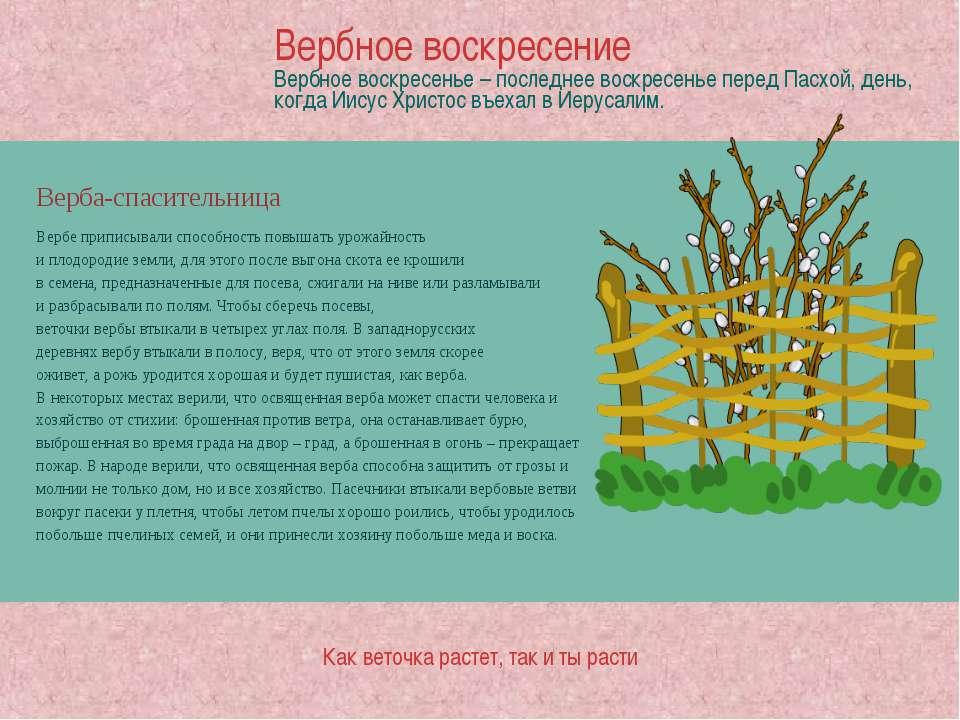 Верба-спасительница Вербе приписывали способность повышать урожайность и плод...