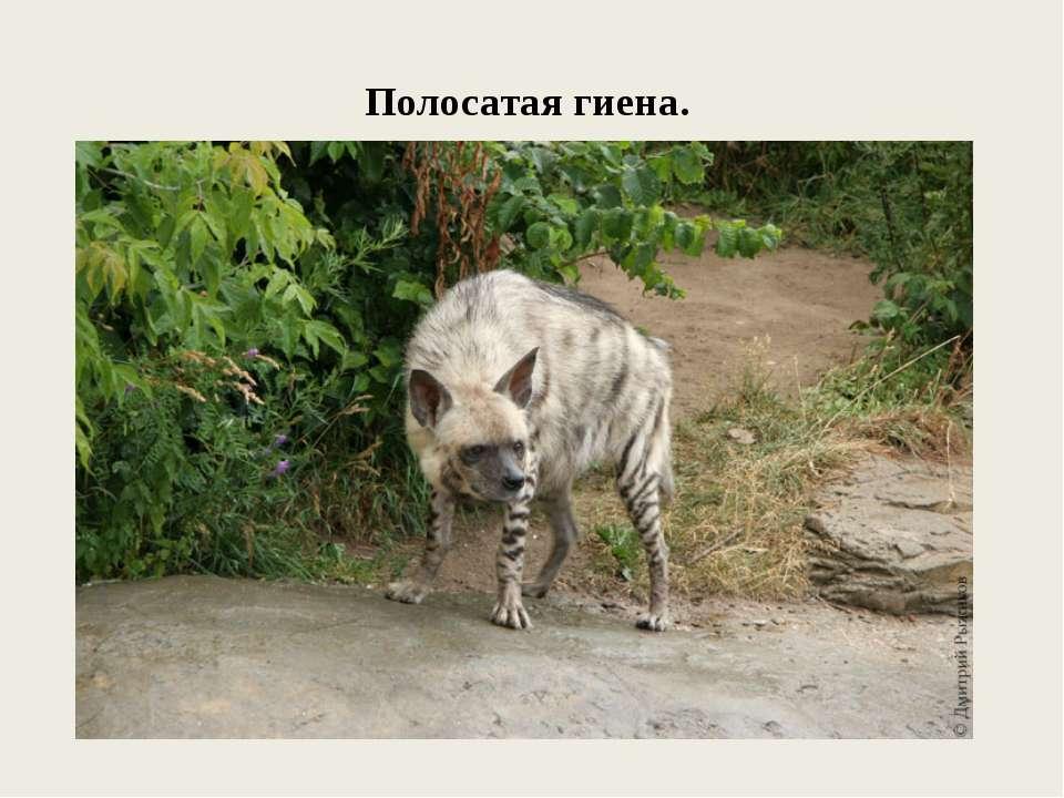 Полосатая гиена.