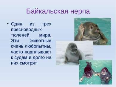 Байкальская нерпа Один из трех пресноводных тюленей мира. Эти животные очень ...