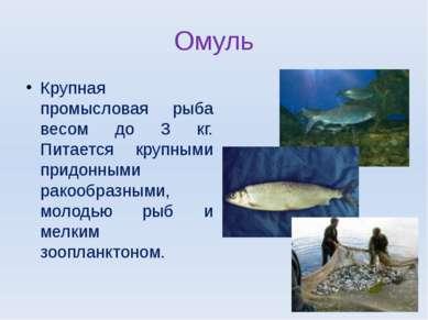 Омуль Крупная промысловая рыба весом до 3 кг. Питается крупными придонными ра...