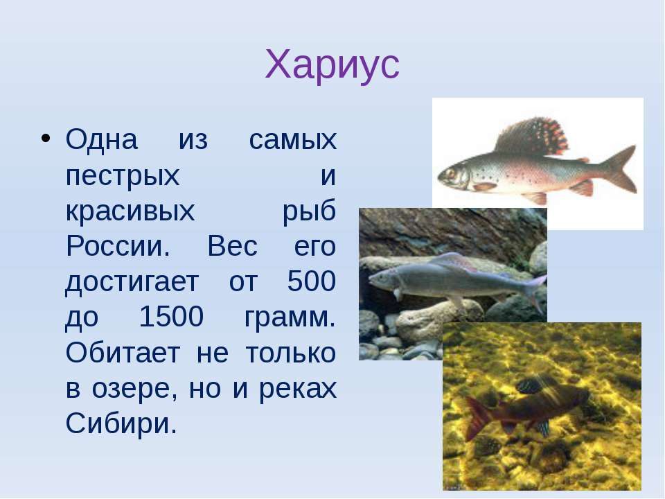 Хариус Одна из самых пестрых и красивых рыб России. Вес его достигает от 500 ...