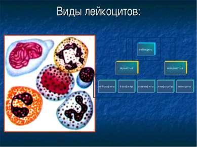 Виды лейкоцитов: