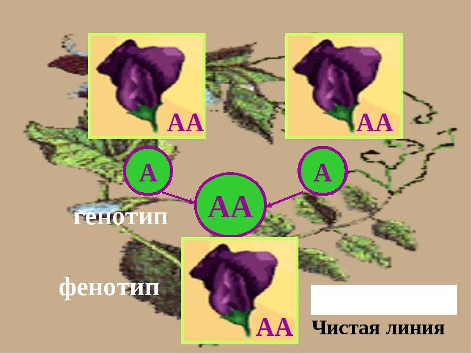 АА А А АА АА генотип фенотип Единообразие F1 АА Чистая линия