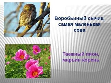 Воробьиный сычик, самая маленькая сова Таежный пион, марьин корень