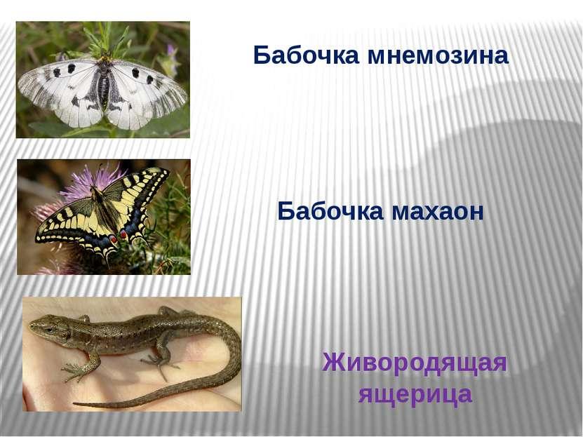 Бабочка мнемозина Бабочка махаон Живородящая ящерица