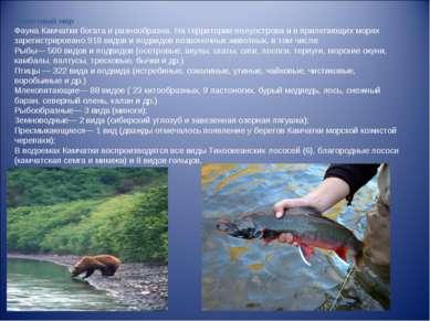 Животный мир Фауна Камчатки богата и разнообразна. На территории полуострова ...