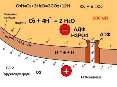 Кислородное расщепление: 2С3Н6О3 + 6О2 + 36АДФ+36Н3РО4 = 6СО2 +6Н2О + 36АТФ+3...