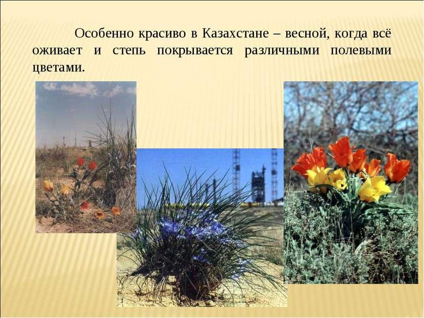 Особенно красиво в Казахстане – весной, когда всё оживает и степь покрывается...
