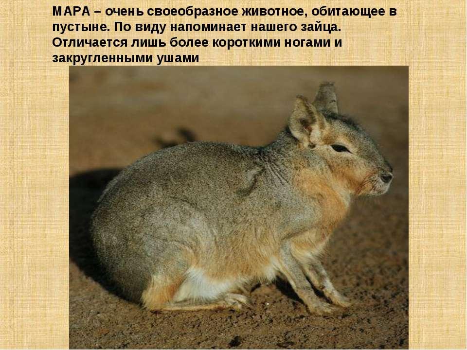 МАРА – очень своеобразное животное, обитающее в пустыне. По виду напоминает н...