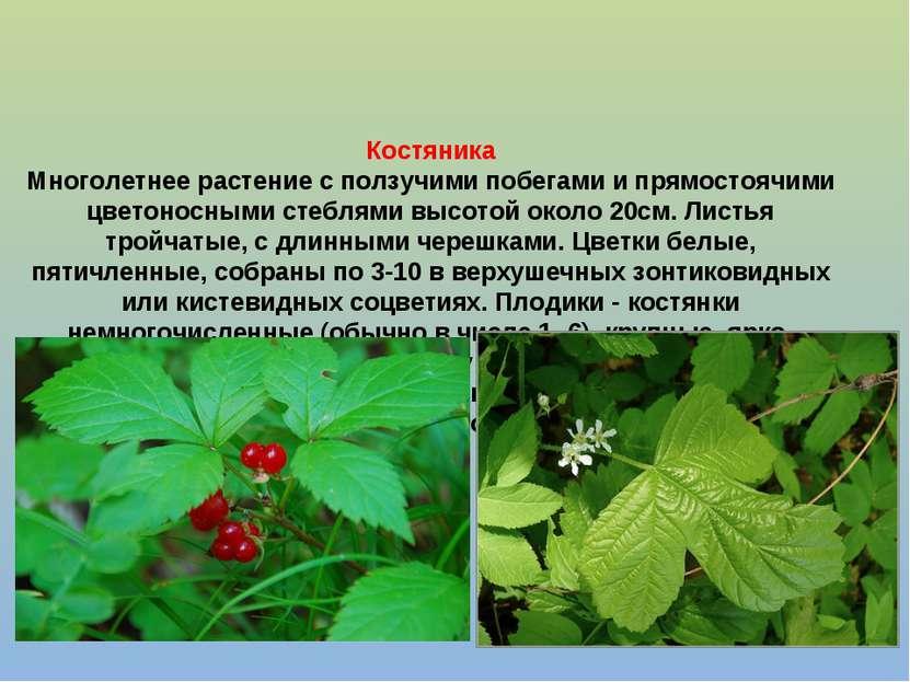 Костяника Многолетнее растение с ползучими побегами и прямостоячими цветоносн...
