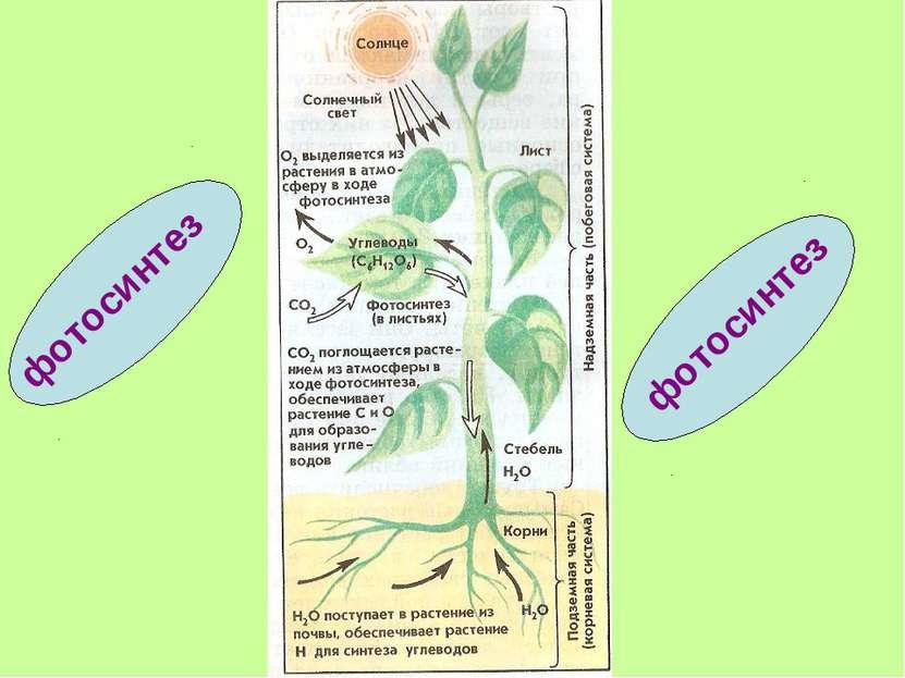 фотосинтез фотосинтез