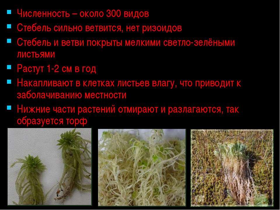 Численность – около 300 видов Стебель сильно ветвится, нет ризоидов Стебель и...