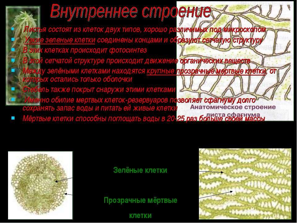 Листья состоят из клеток двух типов, хорошо различимых под микроскопом Узкие ...