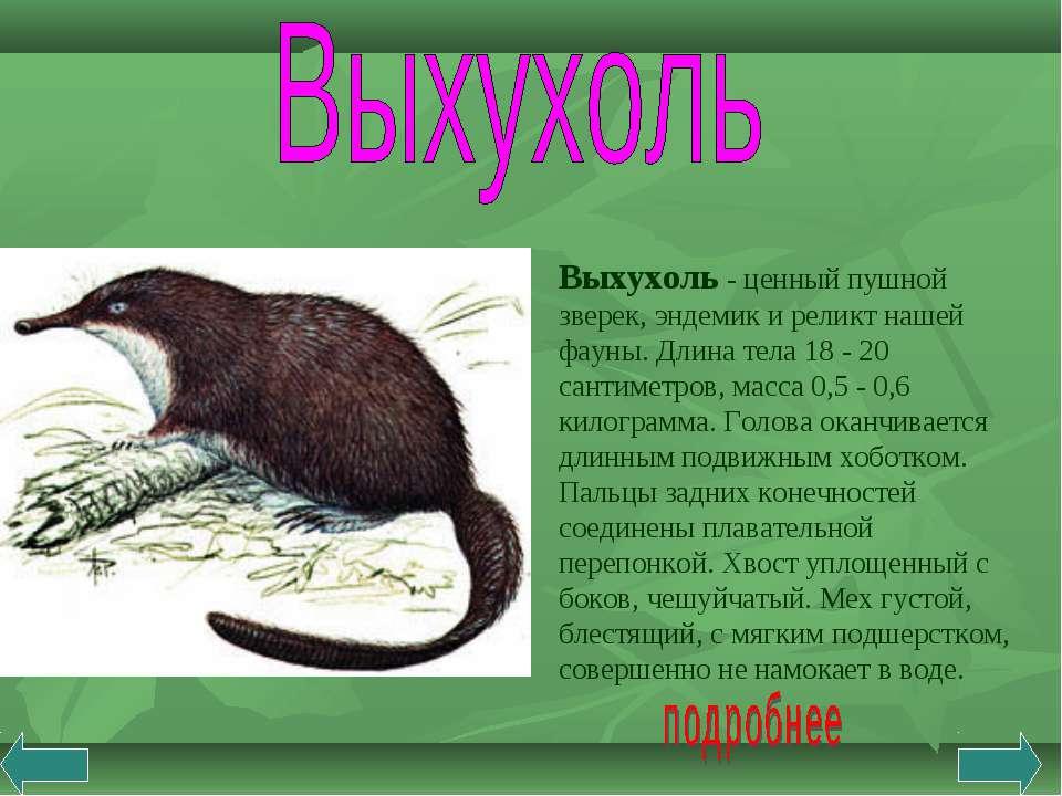 Выхухоль - ценный пушной зверек, эндемик и реликт нашей фауны. Длина тела 18 ...