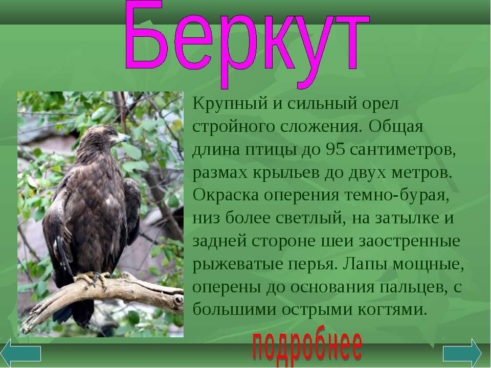 Крупный и сильный орел стройного сложения. Общая длина птицы до 95 сантиметро...