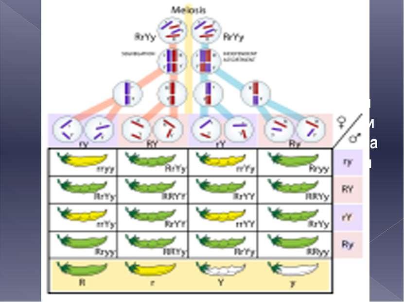 Мендель одним из первых в биологии использовал точные количественные методы д...