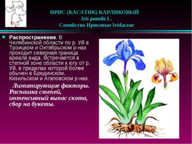 ИРИС (КАСАТИК) КАРЛИКОВЫЙ  Iris pumila L.  Семейство Ирисовые Iridaceae Р...