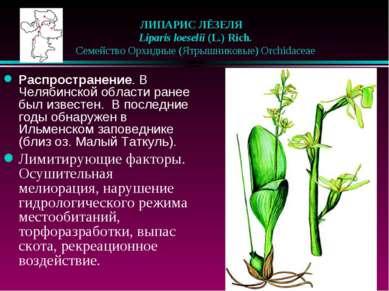 ЛИПАРИС ЛЁЗЕЛЯ  Liparis loeselii (L.) Rich.  Семейство Орхидные (Ятрышник...