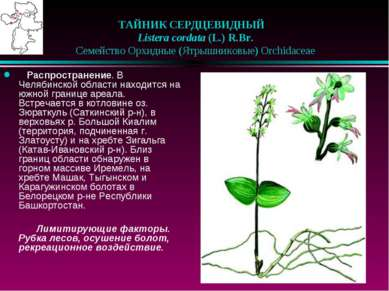 ТАЙНИК СЕРДЦЕВИДНЫЙ  Listera cordata (L.) R.Br.  Семейство Орхидные (Ятры...