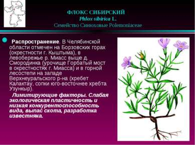 ФЛОКС СИБИРСКИЙ Phlox sibirica L.  Семейство Синюховые Polemoniaceae Ра...