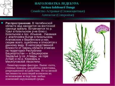 НАГОЛОВАТКА ЛЕДЕБУРА  Jurinea ledebourii Bunge  Семейство Астровые (Сложн...