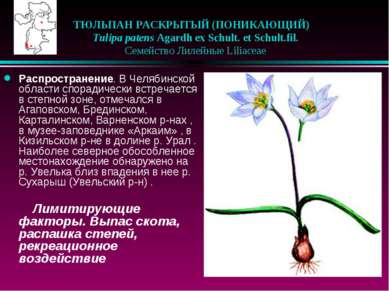 ТЮЛЬПАН РАСКРЫТЫЙ (ПОНИКАЮЩИЙ)  Tulipa patens Agardh ex Schult. et Schult.f...