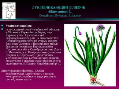 ЛУК ПОНИКАЮЩИЙ (СЛИЗУН)  Allium nutans L.  Семейство Луковые Alliaceae Ра...