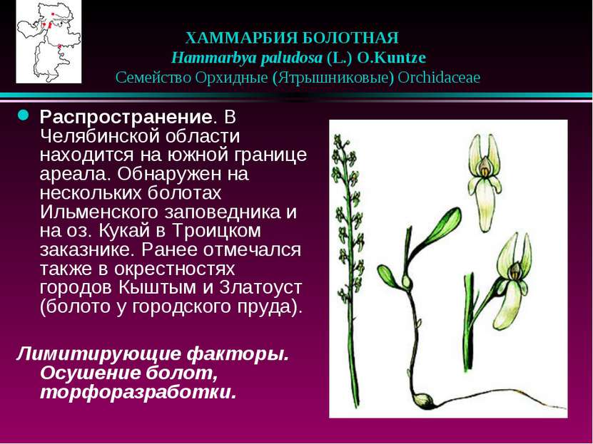 ХАММАРБИЯ БОЛОТНАЯ  Hammarbya paludosa (L.) O.Kuntze  Семейство Орхидные ...