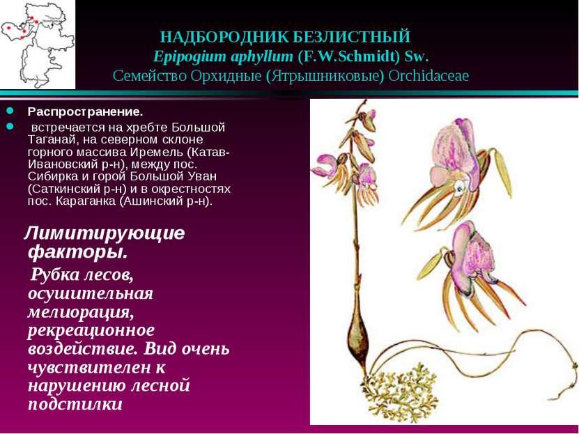 НАДБОРОДНИК БЕЗЛИСТНЫЙ  Epipogium aphyllum (F.W.Schmidt) Sw.  Семейство О...