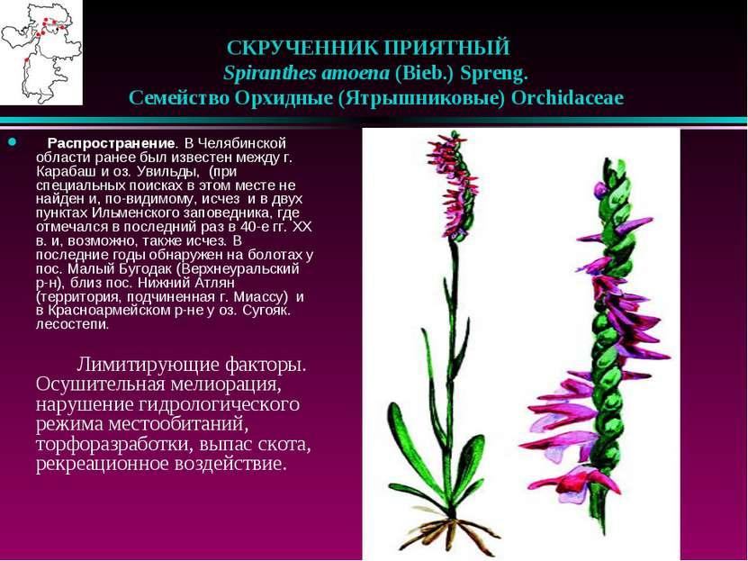 СКРУЧЕННИК ПРИЯТНЫЙ  Spiranthes amoena (Bieb.) Spreng.  Семейство Орхидны...