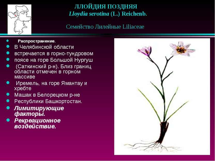 ЛЛОЙДИЯ ПОЗДНЯЯ  Lloydia serotina (L.) Reichenb. Семейство Лилейные Liliace...