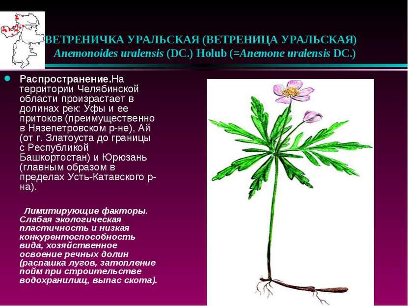 ВЕТРЕНИЧКА УРАЛЬСКАЯ (ВЕТРЕНИЦА УРАЛЬСКАЯ)  Anemonoides uralensis (DC.) Hol...