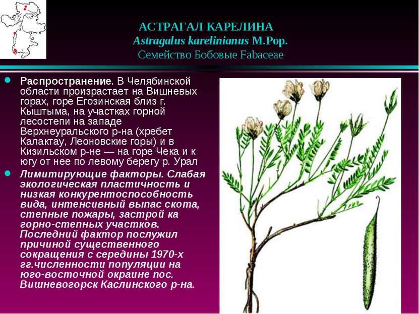 АСТРАГАЛ КАРЕЛИНА  Astragalus karelinianus M.Pop.  Семейство Бобовые Faba...