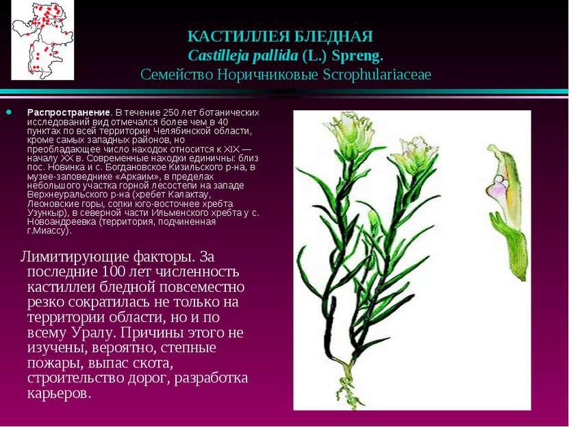 КАСТИЛЛЕЯ БЛЕДНАЯ  Castilleja pallida (L.) Spreng.  Семейство Норичниковы...