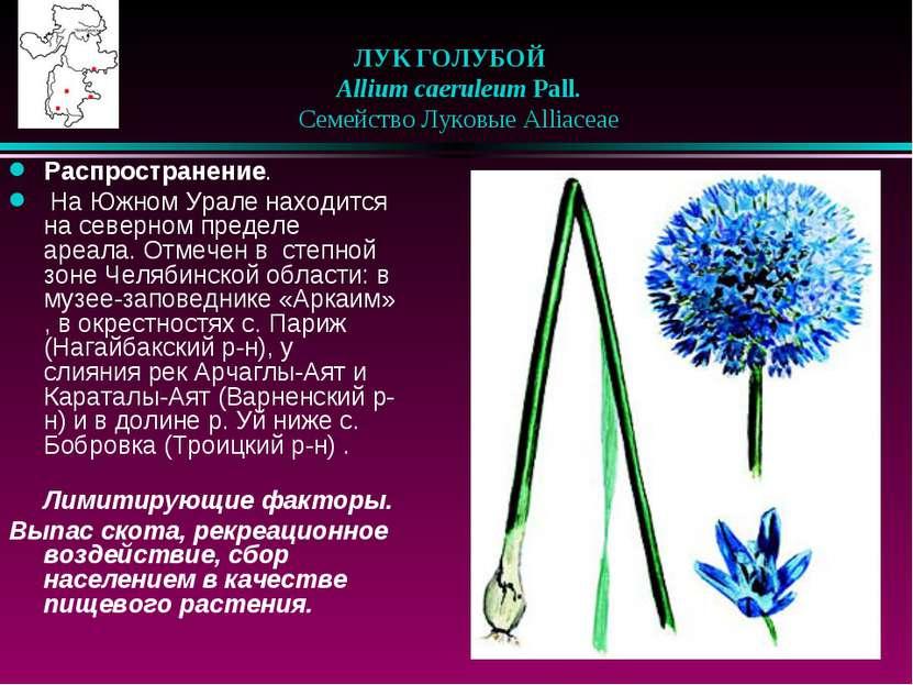 ЛУК ГОЛУБОЙ  Allium caeruleum Pall.  Семейство Луковые Alliaceae Распрост...