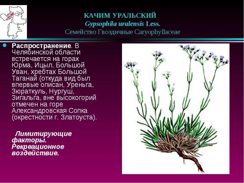 КАЧИМ УРАЛЬСКИЙ  Gypsophila uralensis Less.  Семейство Гвоздичные Caryoph...
