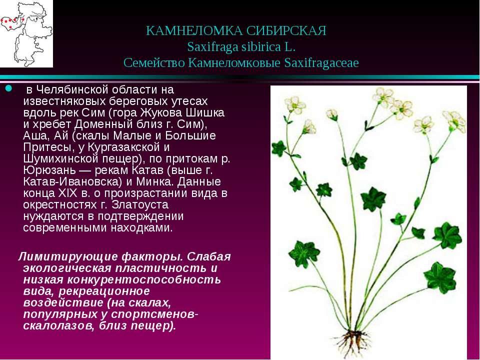 КАМНЕЛОМКА СИБИРСКАЯ  Saxifraga sibirica L.  Семейство Камнеломковые Saxi...