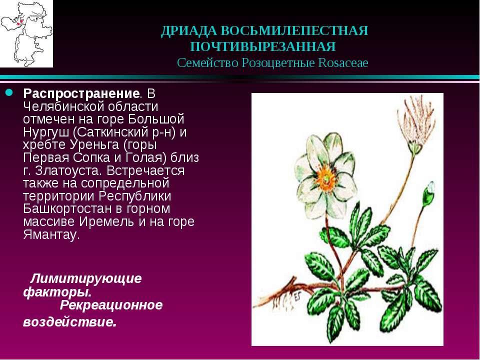 ДРИАДА ВОСЬМИЛЕПЕСТНАЯ ПОЧТИВЫРЕЗАННАЯ   Семейство Розоцветные Rosaceae Р...