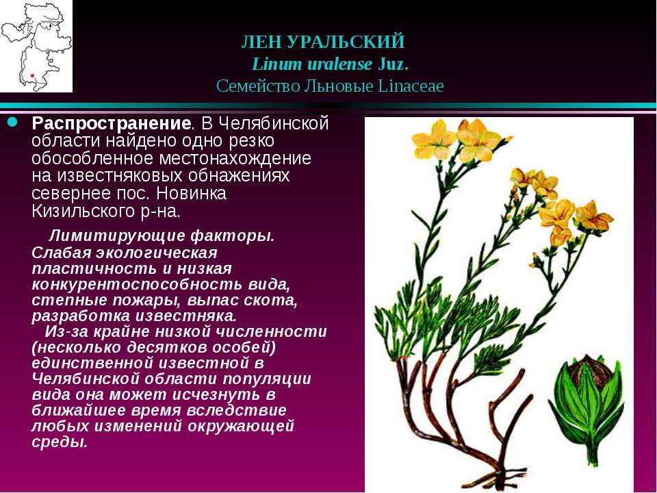 ЛЕН УРАЛЬСКИЙ  Linum uralense Juz.  Семейство Льновые Linaceae Распростра...