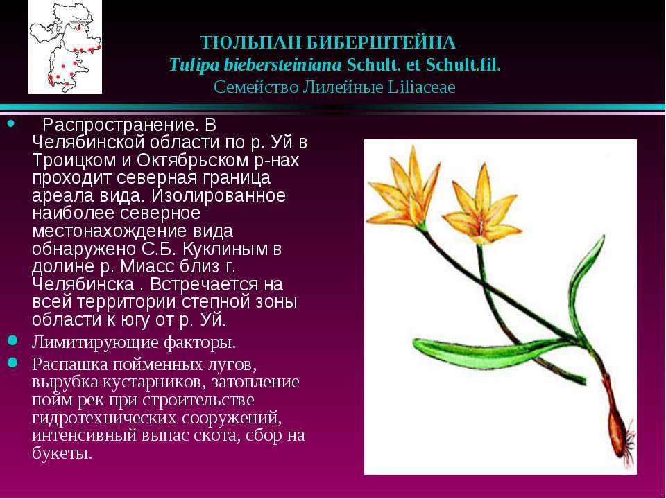 ТЮЛЬПАН БИБЕРШТЕЙНА  Tulipa biebersteiniana Schult. et Schult.fil.  Семей...