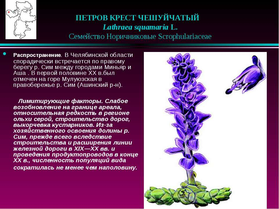 ПЕТРОВ КРЕСТ ЧЕШУЙЧАТЫЙ  Lathraea squamaria L.  Семейство Норичниковые Sc...